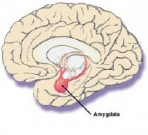 Amygdala and Emotions